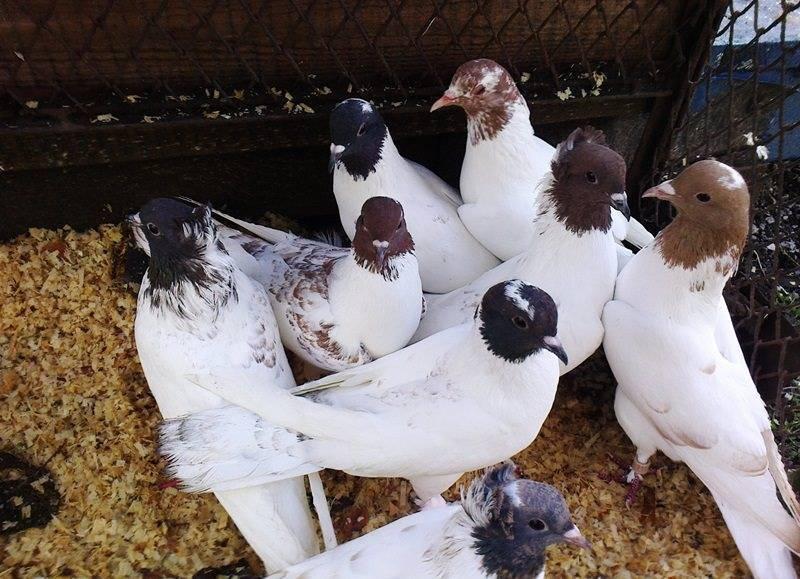 Описание голубей-бакинцев