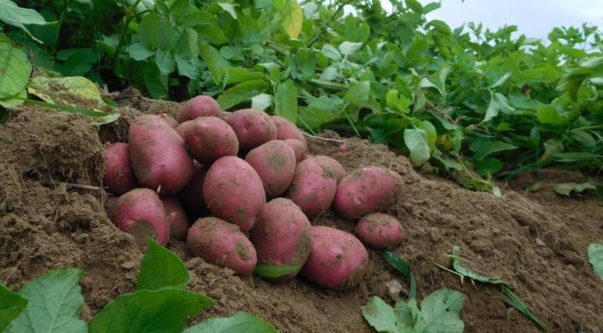 Сорт картофеля «красавчик»: характеристика, описание, урожайность, отзывы и фото