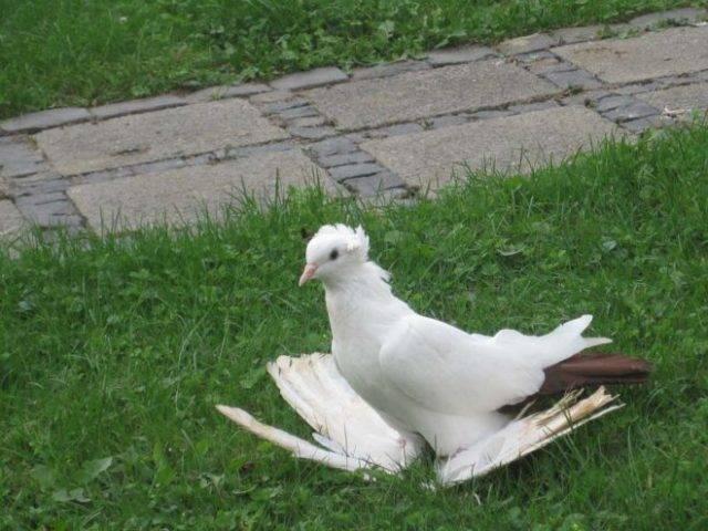 Описание бойных пород голубей, фото и видео их типичных представителей