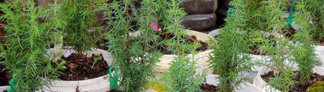 Описание и особенности выращивания можжевельника китайского