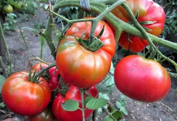 """Томат """"анастасия"""": полное описание сорта и особенности выращивания, характеристики помидоров и фото"""