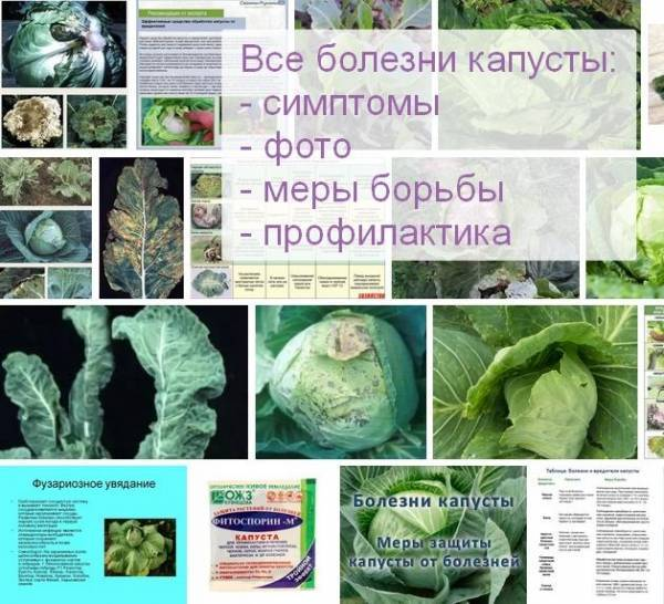 Болезни капусты в открытом грунте и борьба с ними