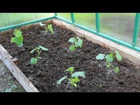 Огурцы в теплице, парнике, открытом грунте: схемы посадки - моя дача - информационный сайт для дачников, садоводов и огородников