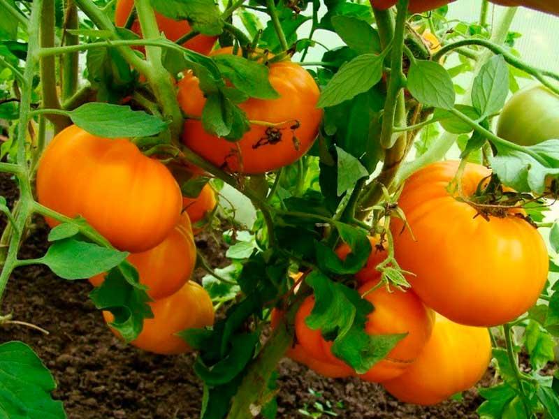 Урожайный и крупноплодный: сорт томатов медовый спас