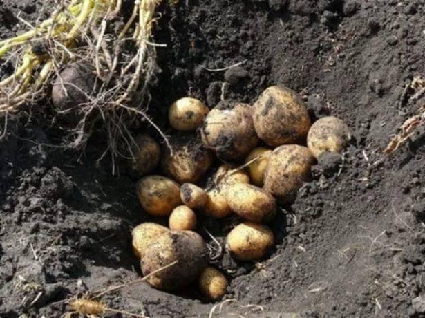 Картофель винета: описание и выращивание сорта, особенности ухода