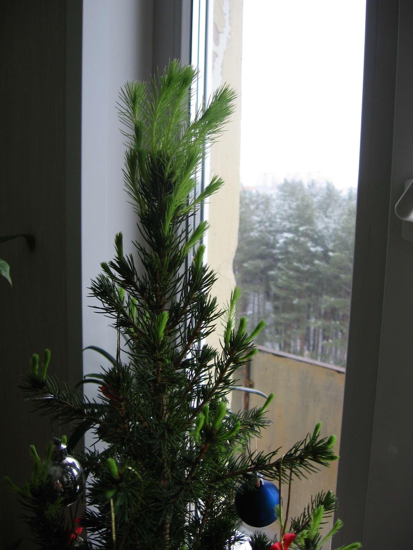 Ель «коника» (46 фото): описание сорта канадской ели, посадка и уход в открытом грунте за карликовой сизой елью. какая высота у взрослого дерева?