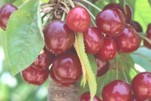 Черешня донецкая красавица — описание сорта, фото, отзывы садоводов