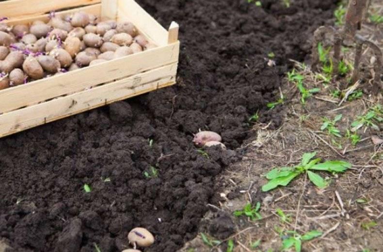 Картофель скарб — описание сорта, фото, отзывы, посадка и уход