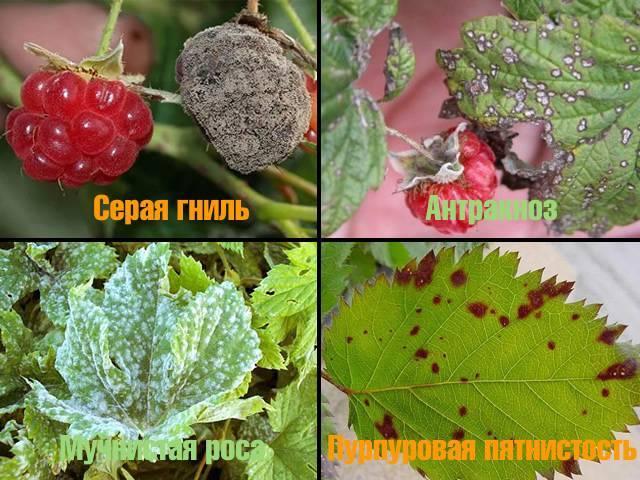 Самые распространенные болезни малины и как бороться с ее вредителями?