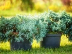 Можжевельник «блю эрроу» (35 фото): описание сорта можжевельника скального, посадка и уход, отличия от сорта «скайрокет», высота растения и правильная стрижка