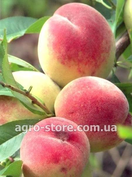 Белые сорта персиков