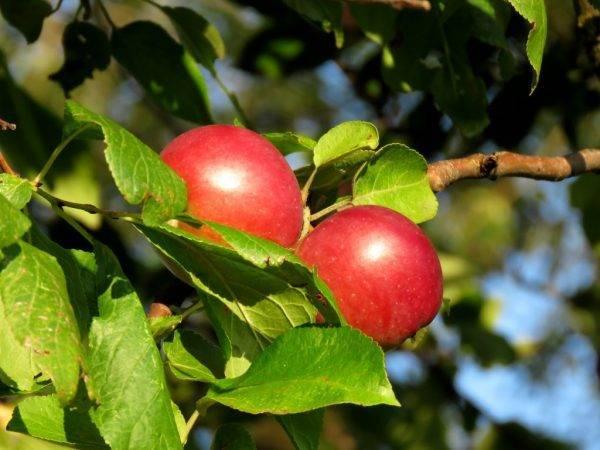 Летняя яблоня горнист: описание, фото