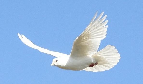 Домашние голуби: выбор породы и особенности содержания