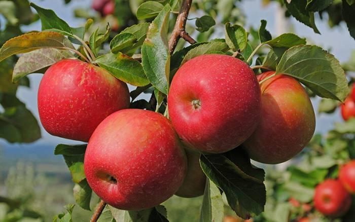 Лучшие сорта колоновидных яблонь для подмосковья