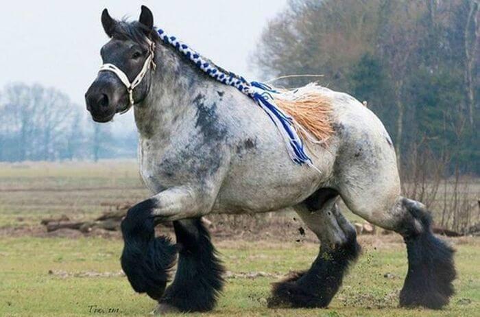 Лошадь Русский тяжеловоз