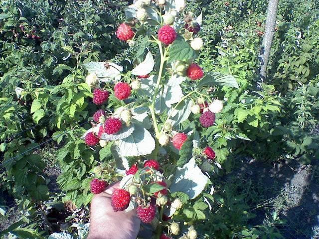 Малина херитейдж: особенности выращивания и уход