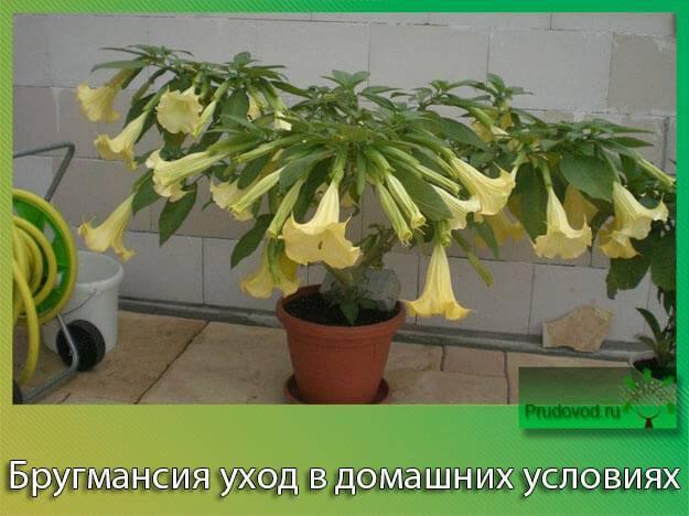 Цветок бругмансия посадка и уход выращивание из семян в домашних условиях фото разновидностей