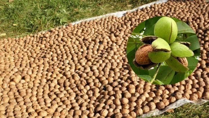 Грецкие орехи: как их мыть и замачивать, а также плюсы и минусы способов обеззараживания