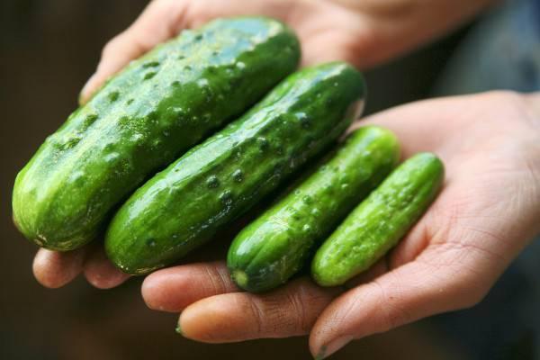 Сорта огурцов для засолки: как выбрать для заготовки