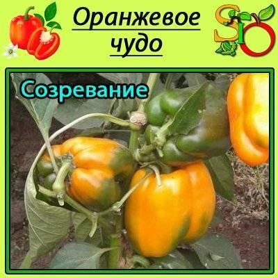 Обзор лучших сортов оранжевого перца с фото и характеристикой