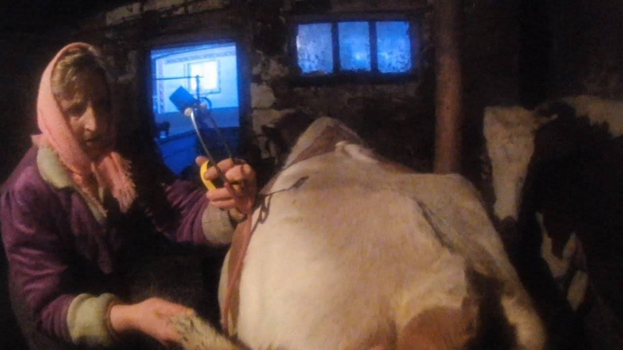 Чем опасен кетоз у коров и как он протекает? симптомы, методы лечения и профилактика болезни