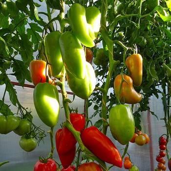 Как собрать небывалый урожай с томатом бифселлер красный f1 — характеристики сорта и его описание
