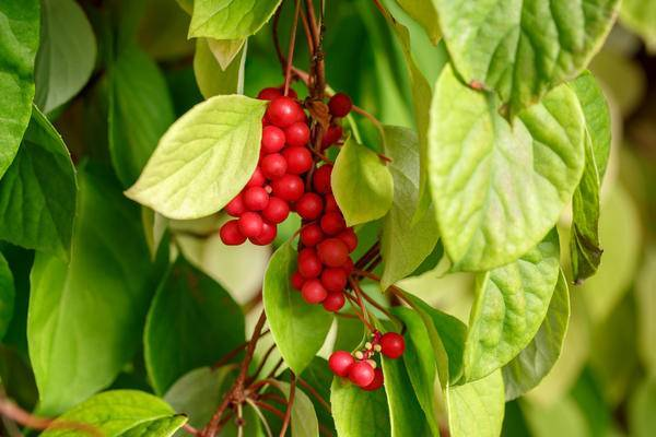 Заготовка на зиму плодов китайского лимонника: способы с минимальной потерей полезных веществ. лимонник (ягода): как использовать и полезные свойства