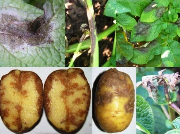 Картофель скарб — урожайный картофель с непревзойдённой лёжкостью