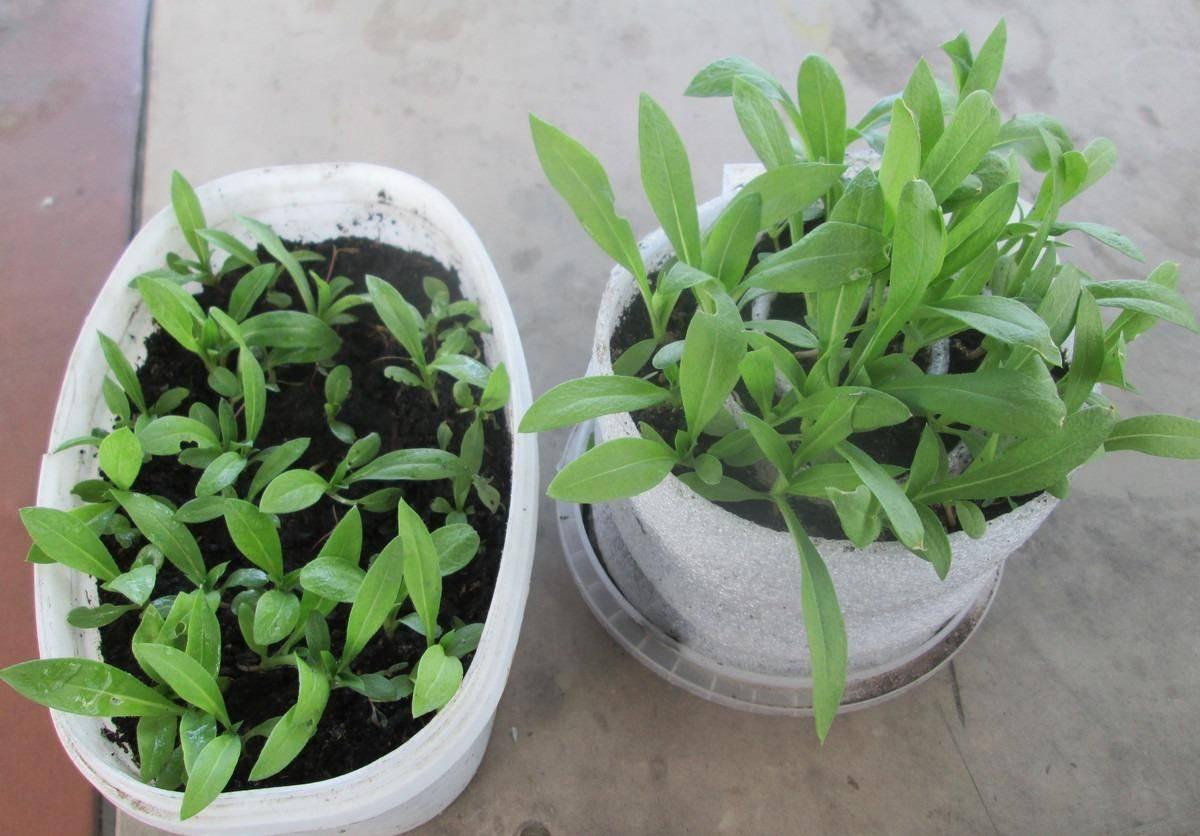 Выращивание многолетних флоксов из семян. выращивание однолетних флоксов из семян