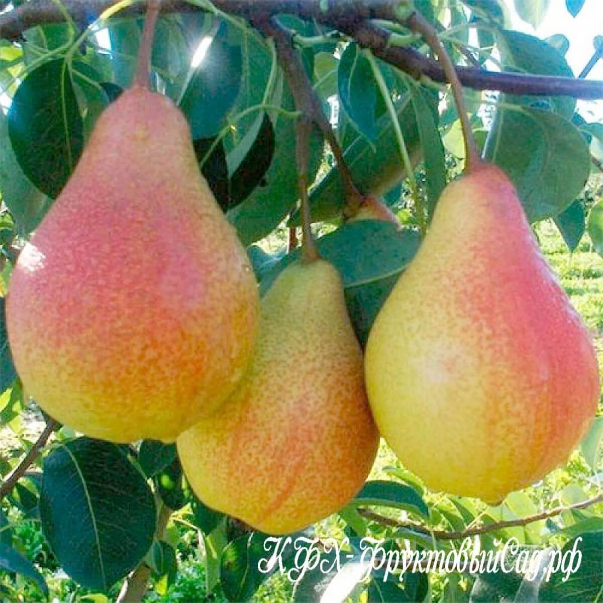 Характеристика и особенности выращивания груши сорта форель