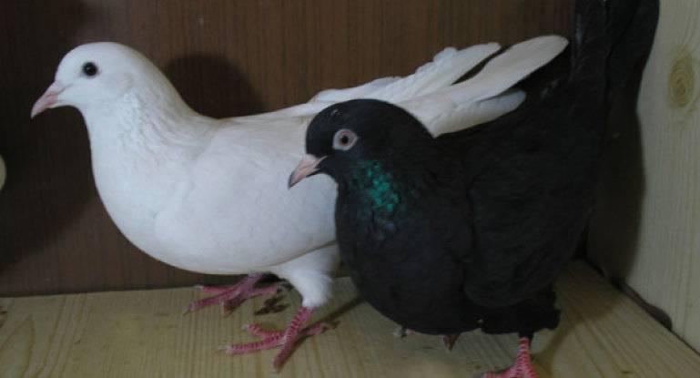 Особенности породы и продажа иранских бойных голубей
