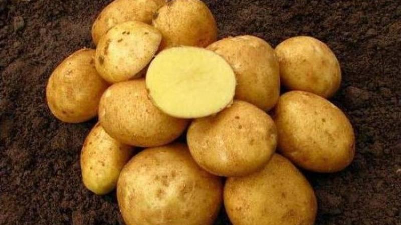 Картофель рагнеда — описание сорта, фото, отзывы, посадка и уход