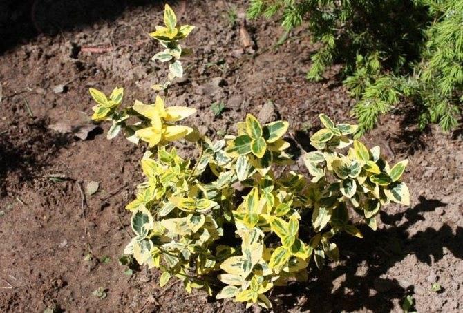 Бересклет европейский: описание, разновидности и выращивание