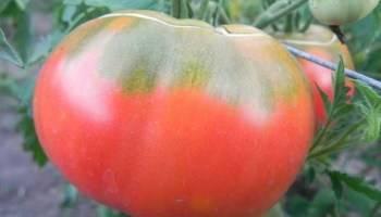 Следуйте инструкции и гибридный томат «иваныч f1» удивит вас обильным плодоношением на грядке или в теплице