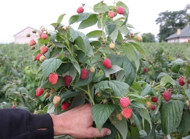 Малина «джоан джей»: описание сорта, агротехника выращивания, ухода и посадки ягоды в открытом грунте (фото)