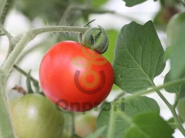 Описание сорта томата львович, его преимущества и недостатки