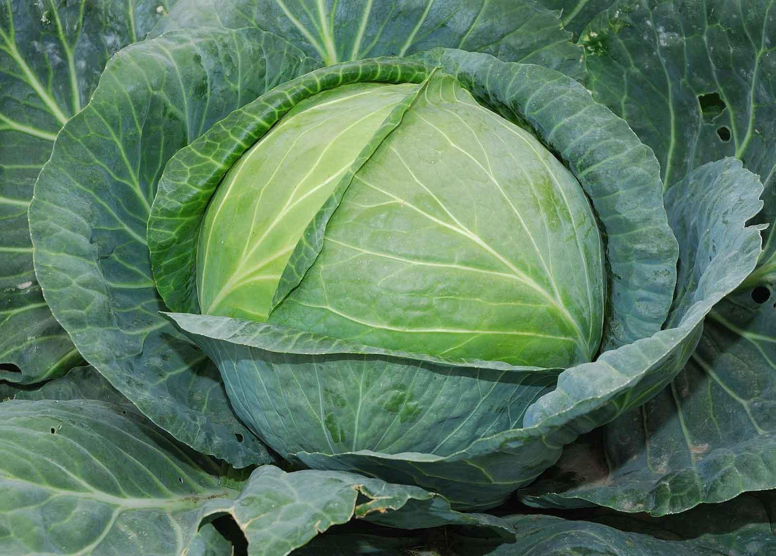 Лучшие сорта белокочанной капусты: характеристики и фото