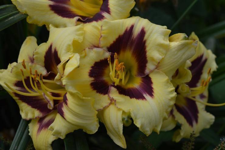 Лилейник бонанза – красивый и неприхотливый многолетник