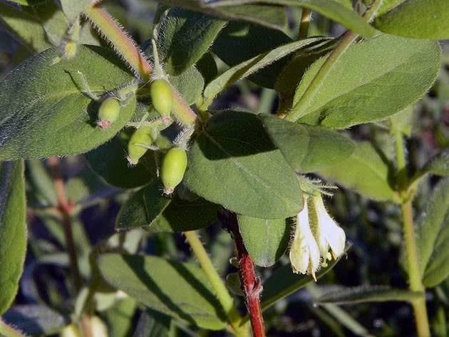 Посадка жимолости съедобной весной — когда и как правильно высаживать саженцы