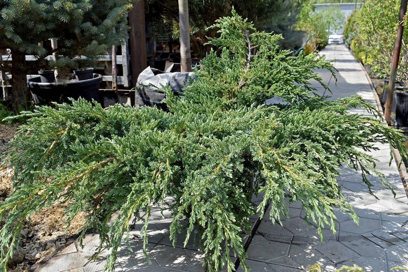 Можжевельник блю карпет — живой ковер для вашего сада