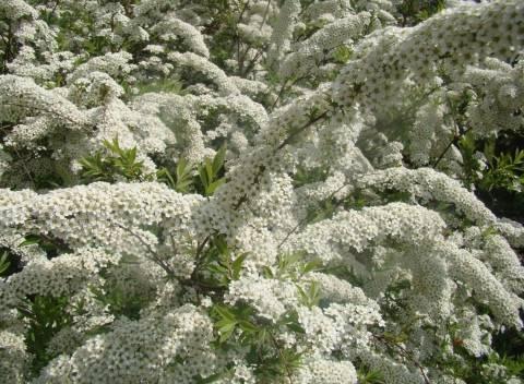 Как сажают спиреи в открытый грунт, уход и обрезка летом после цветения