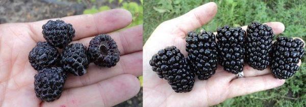 Малина кумберленд: 105 фото посадки и ухода особого сорта малины