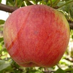 Яблоня орлик: описание сорта, фото, отзывы садоводов
