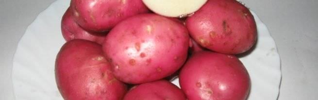 Сорт картофеля розара – описание и фото