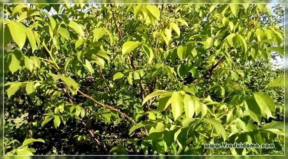 Выращивание грецкого ореха: полив, почва, подкормка