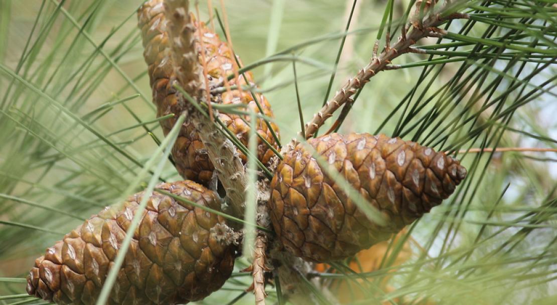 Сосна: посадка и уход, размножение и виды