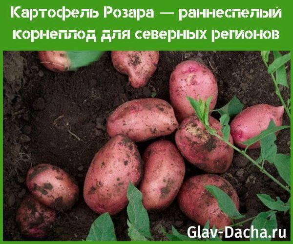 Картофель розара и особенности его выращивания