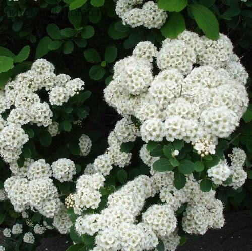 Как посадить и ухаживать за спиреей нипонской сноумаунд, джун брайд: полив, удобрение