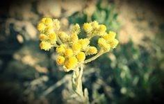 Бессмертник трава — лечебные свойства и противопоказания