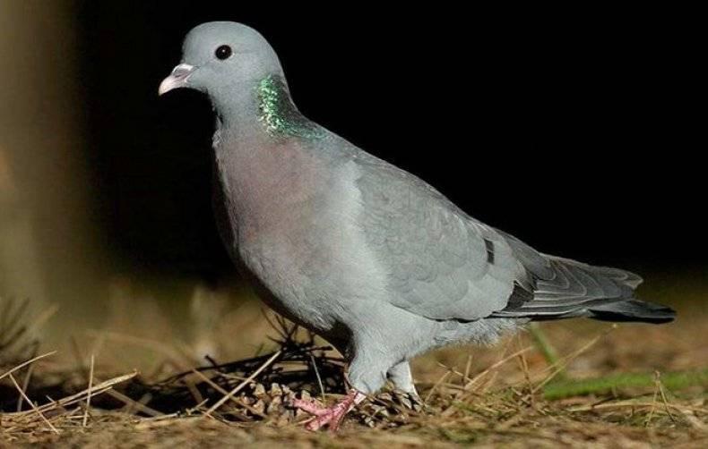 Лесной голубь вяхирь: описание птицы